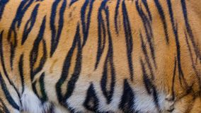 Close up tiger skin texture background. Close up tiger skin on texture background royalty free stock photography
