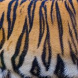 Close up tiger skin texture. Background stock photography