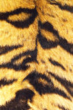 Close up of tiger stripes on real fur Stock Photography
