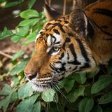 Close up tiger. That tiger look straight at me, it so scary Royalty Free Stock Images