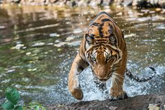 Close up tiger. Tiger walks up from Royalty Free Stock Image