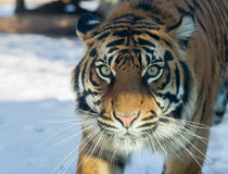 Close up on tiger in the winter Stock Photo