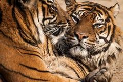 Close-up of a Tigers face. Stock Photos