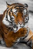 Close-up of a Tigers face. Stock Images