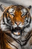 Close-up of a Tigers face. Royalty Free Stock Photos
