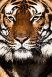 Close-up of a Tigers face. Stock Photos