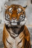 Close-up of a Tigers face. Royalty Free Stock Images
