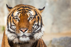 Close-up of a Tigers face. Stock Photo