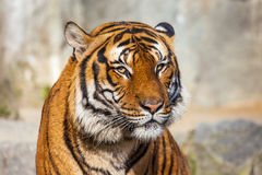 Close-up of a Tigers face. Royalty Free Stock Image