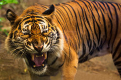 Close up of a tigers face with bare teeth. Of Bengal Tiger Stock Photos