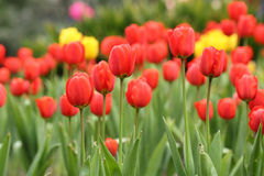 Close up Tilip flower Royalty Free Stock Images
