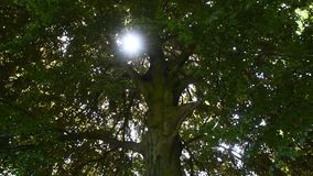 Close up tilt of big green tree with sunshine. Close up of big tree with green leaves and sunshine from foliage of crown branches, low angle view, tilt stock video footage
