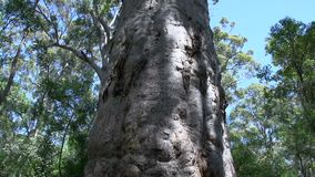 Close up tilt from a big tree in margaret river forest, Western Australia stock footage