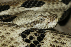 Close up of a timber rattlesnake. Royalty Free Stock Photos