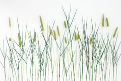 Close-up of Timothy grass on white background stock image
