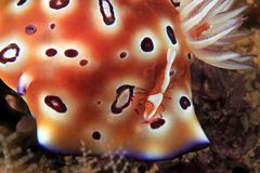 Emperor Shrimp on Nudibranch Royalty Free Stock Photo