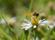 Macro photo of a flower fly on a small daisies royalty free stock images