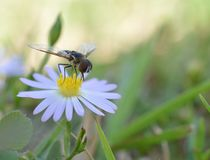 Macro photo of a flower fly on a small daisies stock photography