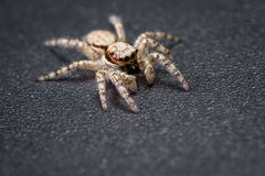 Jumping spider - mariposa muscosa. Close up of a tiny little jumping spider on a dark background Royalty Free Stock Image