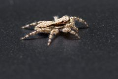 Jumping spider - mariposa muscosa. Close up of a tiny little jumping spider on a dark background stock image