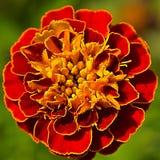 Close up of a tiny marigold Stock Photography