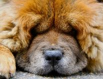 Close up of tired Chow-Chow dog. Close up of big fluffy furry brown tired Chow-Chow dog Royalty Free Stock Image