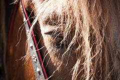 Close up tired horse portrait Royalty Free Stock Photos