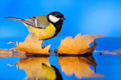 Close-up of tit sitting on autumnal leaves Royalty Free Stock Photography