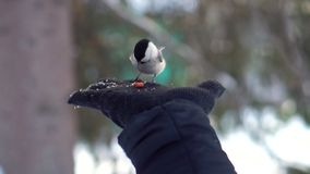 Close up for titmouse is fed from a hand in black glove and flyes away in a winter, snowy forest. Cute bird eats nut. From a palm over blur trees background stock photography