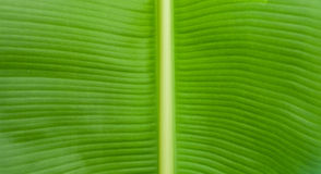 Close up to banana leaf Royalty Free Stock Photography