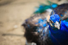 Close up to beautiful face of young peacock male with blue pluma Stock Photos