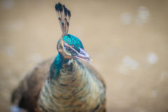 Close up to beautiful face of young peacock male with blue pluma Stock Photo