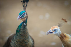 Close up to beautiful face of young peacock male with blue pluma Royalty Free Stock Photos