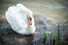Close up to big male swan in the lake. Selective focus and blank space Royalty Free Stock Photography