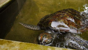 Close up to a big turtle swimming in a pool at a turtle hatchery in Sri Lanka. Brown turtles swimming in a pool at a turtle hatchery in Sri Lanka stock video footage