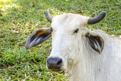 Close-up to Brazilian bull. Stock Photo