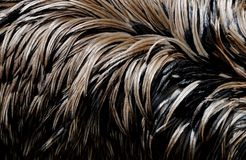 Plumage of an emu. Close-up to brown feathers of an emu, a flightless australian bird Stock Photography