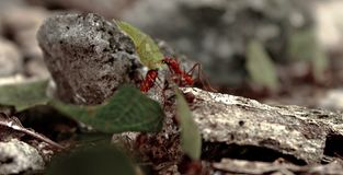 Leafcutter ants working hard at forest stock photography