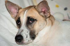 Close up to Dog Folk Thailand. Royalty Free Stock Image