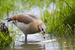 Close up to an Egyptian Goose Stock Photos