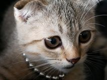 Close up to eye and face of cute young brown Scottish cat, detai Royalty Free Stock Photo