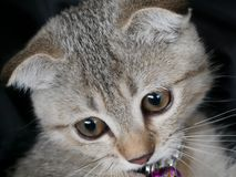 Close up to eye and face of cute young brown Scottish cat, detai Stock Images