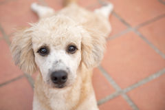 Close up to the eye of sad poodle dog. The eye of dirty poodle dog Royalty Free Stock Photos