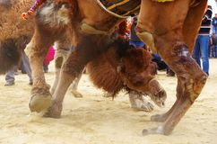 Close up to the faces of fighting camels at wretling festival royalty free stock photos