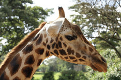 Close up to a Giraffe Royalty Free Stock Images
