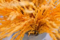Close up to Golden Thai Jasmine rice spike stock photos