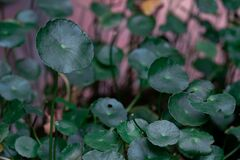 Close up to Gotu kola or Centella Asiatica green leaves
