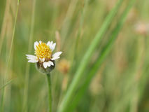Close up to grass blossom flower in nature background, selective royalty free stock photography