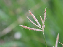 Close up to grass blossom flower in nature background, selective stock photography