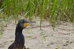 Close-up to Great black cormorant Royalty Free Stock Photography